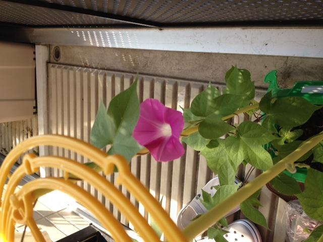 初の花が咲く朝顔