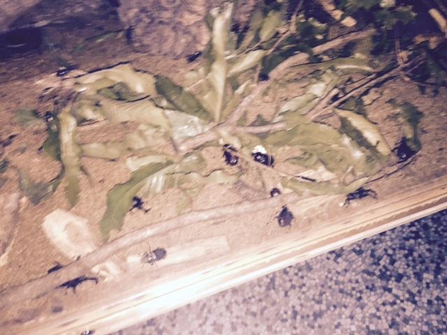 伊丹昆虫館 夜のカブトムシ