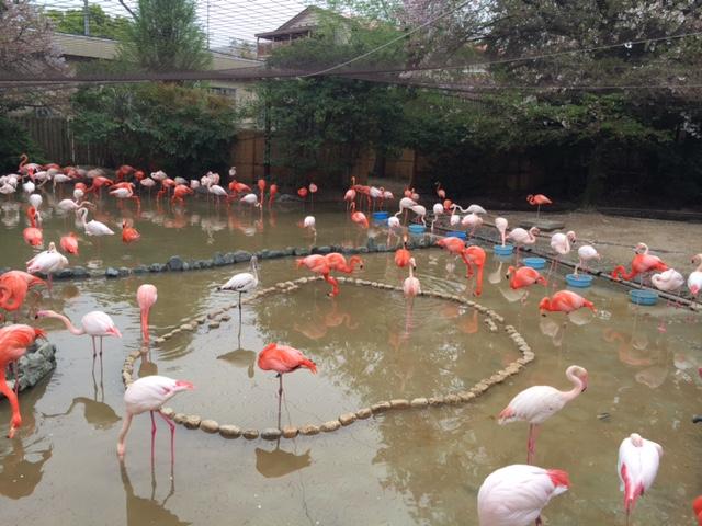 王子動物園フラミング
