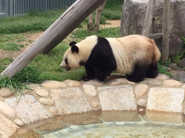 王子動物園パンダ