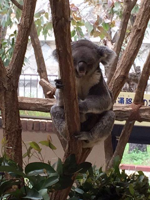 王子動物園コアラ