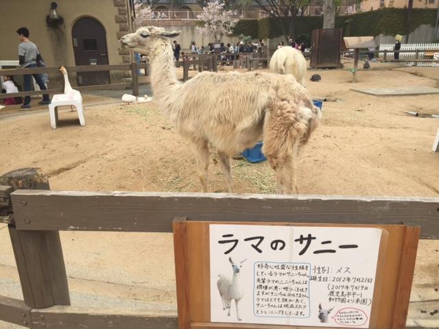 王子動物園ラマ
