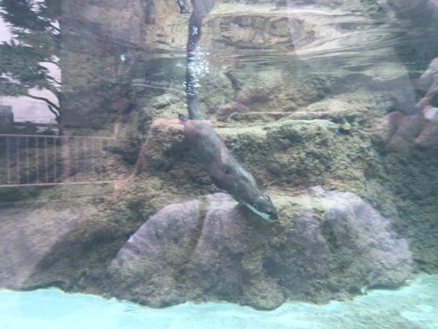 王子動物園カワウソ