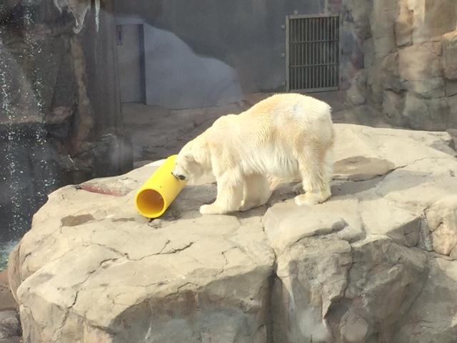 王子動物園シロクマ