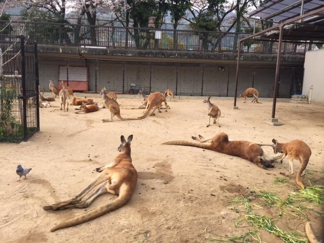 王子動物園カンガルー