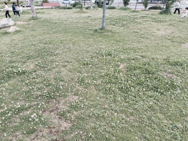 妙法寺川左岸公園クローバー畑